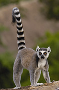 Lemuridae Framed Prints - Ring-tailed Lemur Lemur Catta Portrait Framed Print by Pete Oxford