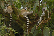 Lemuridae Framed Prints - Ring-tailed Lemur Lemur Catta Trio Framed Print by Pete Oxford
