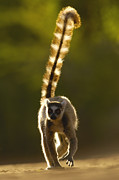Madagascar National Park Prints - Ring-tailed Lemur Lemur Catta Walking Print by Pete Oxford