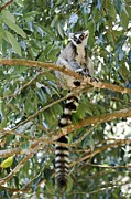 Lemur Catta Framed Prints - Ring-tailed Lemur Framed Print by Matthew Oldfield