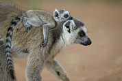 Primates Framed Prints - Ring-tailed Lemur Mom And Baby Framed Print by Cyril Ruoso