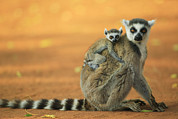 Two Tailed Photo Prints - Ring-tailed Lemur Mother and Baby Print by Cyril Ruoso