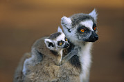 Two Tailed Photo Metal Prints - Ring-tailed Lemur Mother Carrying Baby Metal Print by Cyril Ruoso