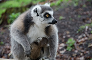 Two Tailed Photo Prints - Ring Tailed Lemur Print by Photography Philip Appleyard
