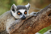 Lemur Catta Framed Prints - Ring-tailed Lemur Resting Framed Print by Cyril Ruoso