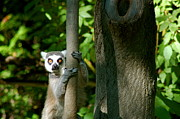 Steve Boice - Ring Tailed Lemur