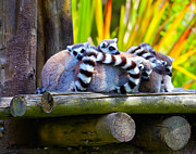 Lemur Catta Framed Prints - Ring-tailed lemurs Framed Print by Gabriela Insuratelu