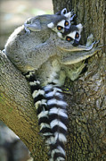 Two Tailed Photo Metal Prints - Ring-tailed Lemurs Madagascar Metal Print by Cyril Ruoso