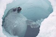 Featured Acrylic Prints - Ringed Seal At Breathing Hole Arctic Acrylic Print by Flip Nicklin