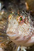 Featured Acrylic Prints - Ringneck Blenny Tamariu Costa Brava Acrylic Print by Reinhard Dirscherl