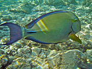 Tropical Fish Posters - Ringtail Surgeonfish Poster by Michael Peychich