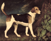 Hound Metal Prints - Ringwood Metal Print by George Stubbs