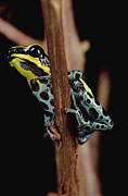 Animalsandearth Photos - Rio Madeira Poison Frog Dendrobates by Mark Moffett