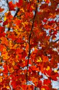 Fall Leaves Photos - Riotous Reds by Robert Ullmann