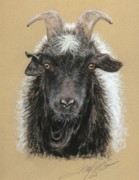 Original Art Pastels Prints - Rip Torn Myotonic Goat Print by Terry Kirkland Cook