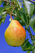 Color Reliefs Posters - Ripe pear Poster by Volodymyr Chaban