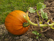 Ripe Photos - Ripe Pumpkin by Louise Heusinkveld