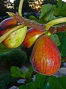 Figs Prints - Ripening Figs Print by Margie Avellino