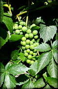 Green Grapes Prints - Ripening Grapes on the Vine Print by Carol Groenen