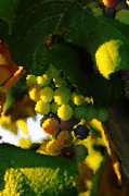 Wine Grapes Prints - Ripening  Print by Jeff  Swan