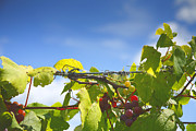 Grape Vine Framed Prints - Ripening On The Vines Framed Print by Steven Ainsworth