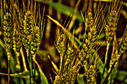 Beards Photo Framed Prints - Ripening Wheat Framed Print by David Patterson