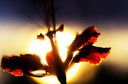 Floral Composition Photos - Rising Sun by Jenny Rainbow