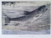 Fishing Creek Drawings Prints - Rising to the Natural Fly Print by Roberto Prusso