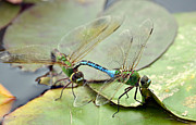 Dragonflies Mating Photos - Rite Of Passage by Fraida Gutovich
