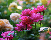 Beautiful Cities Photo Prints - Rittenhouse Square Roses Print by Rona Black