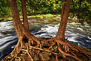 Tree Roots Posters - River and trees Poster by Elena Elisseeva