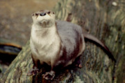 Otter Photos - River Otter by John Burk