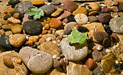 Maple Leaf Prints - River Stones Print by Steve Gadomski
