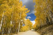 Steamboat Springs Western Framed Prints - Road Amid Aspens 1 Framed Print by Ron Dahlquist - Printscapes