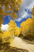 Steamboat Springs Western Framed Prints - Road Amid Aspens 2 Framed Print by Ron Dahlquist - Printscapes