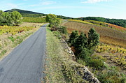 Winemaking Posters - Road by vineyards with fall foliage Poster by Sami Sarkis
