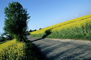 Cultivation Framed Prints - Road going through oilseed rape fields Framed Print by Sami Sarkis