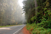 Foggy Day Posters - Road Through Redwoods Poster by Betty LaRue