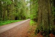 Cedar Trees Prints - Road through the Cedars Print by Idaho Scenic Images Linda Lantzy