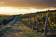 Grapevines Prints - Road Through Vineyard Print by Jeremy Woodhouse