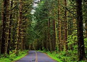 Olympic National Park Prints - Road to Hoh Print by Benjamin Yeager