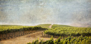 Napa Valley Vineyard Prints - Road to Riches Print by Marilyn Hunt