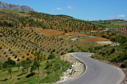 Cultivation Posters - Road winding between fields of olive trees Poster by Sami Sarkis