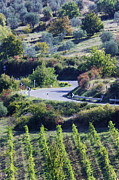 Grapevines Prints - Road Winding Through Vineyard and Olive Trees Print by Jeremy Woodhouse