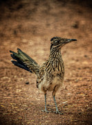 Roadrunner Framed Prints - Roadrunner  Framed Print by Saija  Lehtonen