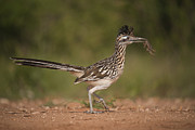 Hector D Astorga - Roadrunner with Prey