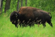Bison Originals - Roaming Bison by Betty Welsh