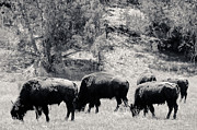 White Buffalo Greeting Card Posters - Roaming Buffalo Near Zion Poster by Julie Niemela