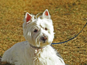 Westie Terrier Digital Art - Robbie with a blue leash by Susie Fisher