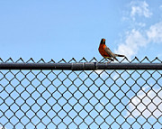 Robin Photos - Robin Bird Sitting On A Fence by Tracie Kaska